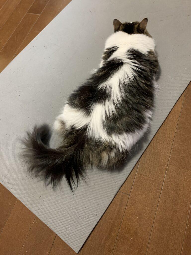 ナマコのように寝ながら床暖房を堪能する猫