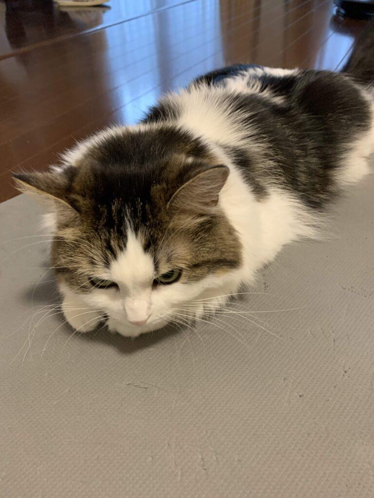 ナマコといわれて怒る猫