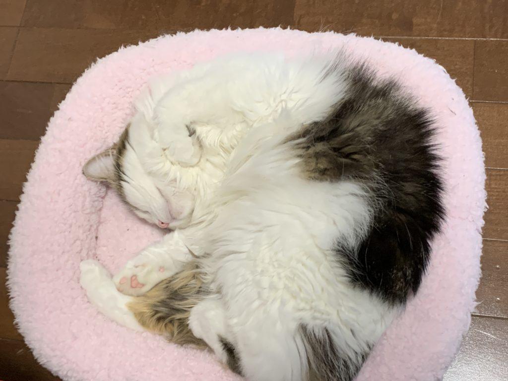 猫用ベッドに収まる猫