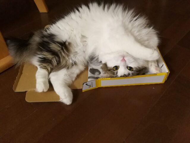 浅めの箱でかわいさアピールする猫